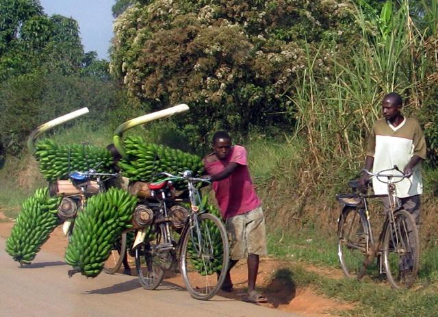 Da erscheint einem der Bananentransport auf Fahrrädern direkt gemütlich, trotz der wahrscheinlich weit über 100 kg Ladung pro Fahrrad.