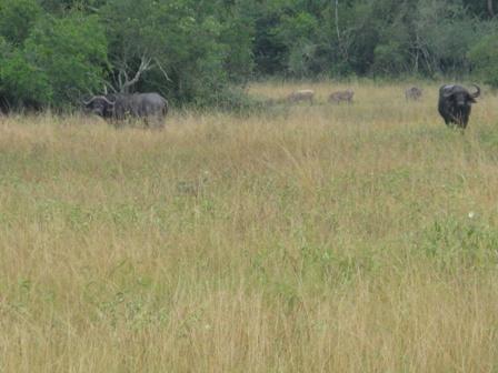 Leider kann man den Büffeln nicht zu nahe treten. Dafür sind auch noch ein paar Warzenschweine auf dem Foto.