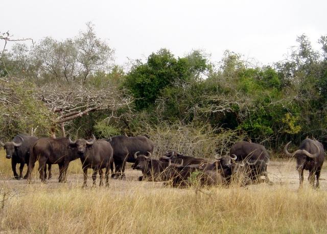Die Büffel sind auch nicht weit. Besser ist aber, auf Distanz zu bleiben, da manchaml agressiv. Eben richtige Büffel!
