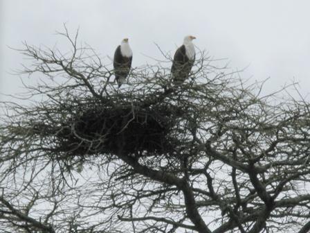 Hoch in den Bäumen nistet ein Fischadlerpaar