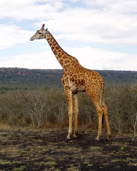 Kurz nach dem Eingang können in der weiten Ebene die Giraffen besucht werden.