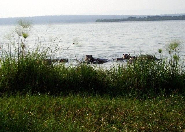 Nicht weit davon entfernt tummeln sich die Nilpferde im See