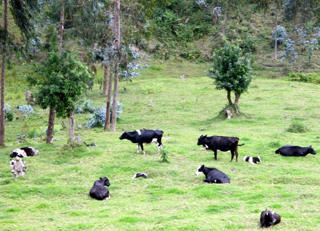 Fleckvieh am Kivusee bei Rutsiro