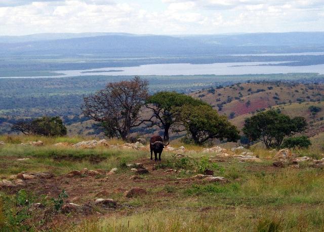 Grandiose Aussicht mit Büffel