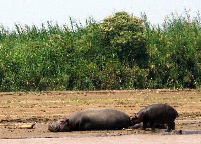 Obwohl nicht im Nil, sondern im Ruzizi, bleibt das Hippopotam ein Nilpferd. Ob das Junge wohl ein Nilfohlen ist?