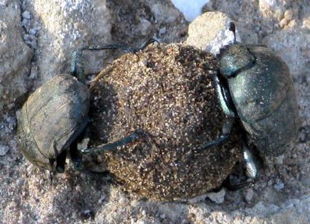 Gemäss Darwin haben diese Käfer ihre Fertigkeit in Basel bei der Chemischen gelernt...