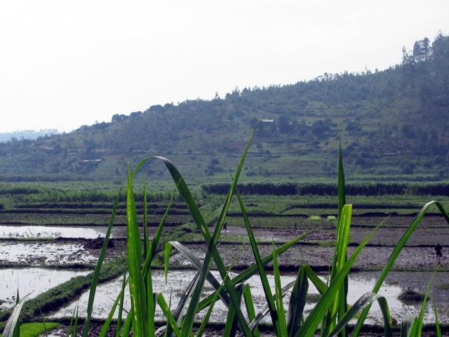 In der Ebene am Fusse des Hügels, auf welchem Byumba gelegen ist, wird auch Reis gepflanzt