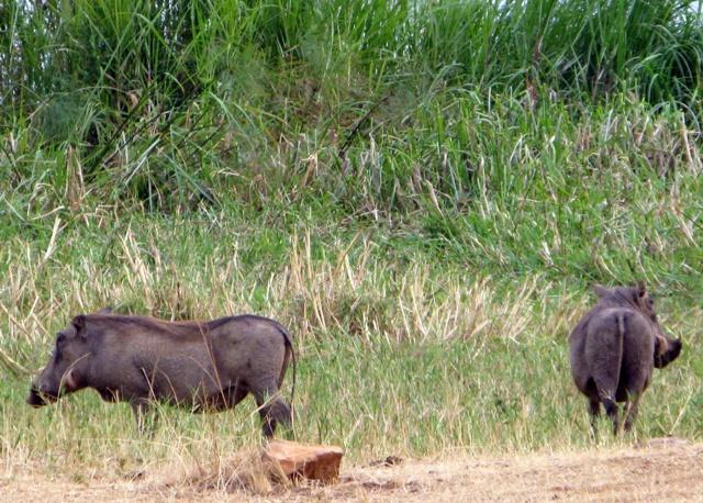 Warzenschweine am fressen