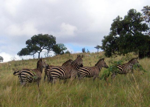 Eine kleine Zebraherde im hohen Gras
