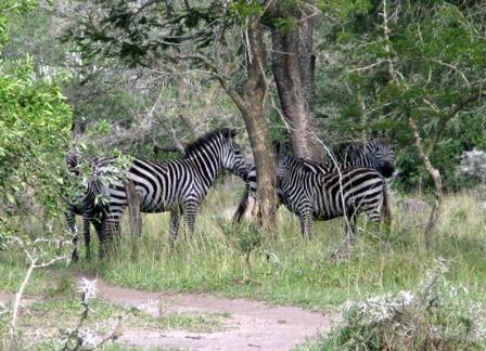 Eine kleine Herde von Zebras im Lake Mburo Nationalpark