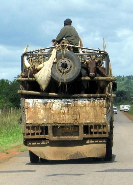 Auch Zebus werden manchmal mit dem Laster transportiert. Damit die Tiere sich ruhig verhalten, wird der Hirte gleich mit auf die Brücke geladen.