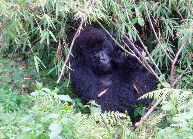 Ein Gorilla beim gemütlichen Verzehr von Bambus