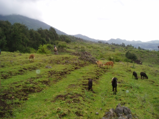 Beim Aufstieg zum Park begegnen wir am Fuss des Sabyinyovulkans auf ca. 2700 m.ü.M. bekannter Fauna und Flora