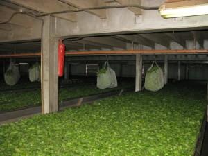 In diesen Säcken wird das Teekraut angeliefert und zur Trocknung auf diese beheizten Flächen gebracht. Die Säcke wiegen 50 kg. Fleissige TeepflückerInnen schaffen diese Menge in einem langen Arbeitstag. Sie bekommen dafür RWF 1'000 bezahlt, was umgerechnet etwa CHF 2.-- ausmacht. Somit können sie theoretisch auf ein Monatseinkommen von ca. CHF 60.--, wenn sie 30 Tage im Monat arbeiten...