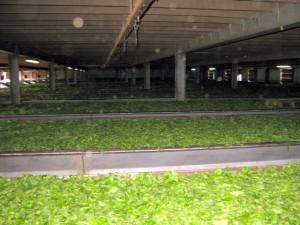 Auf diesen beheizten Flächen wird das frische Teekraut getrocknet