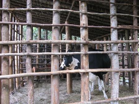 Dieses Rindvieh wurde durch die Schweiz finanziert. Zur einkommensgenerierung werden ausgewählten Familien trächtige rinder zur Verfügung gestellt, damit in bescheidenem Rahmen Viehzucht und Milchwirtschaft betrieben werden kann.